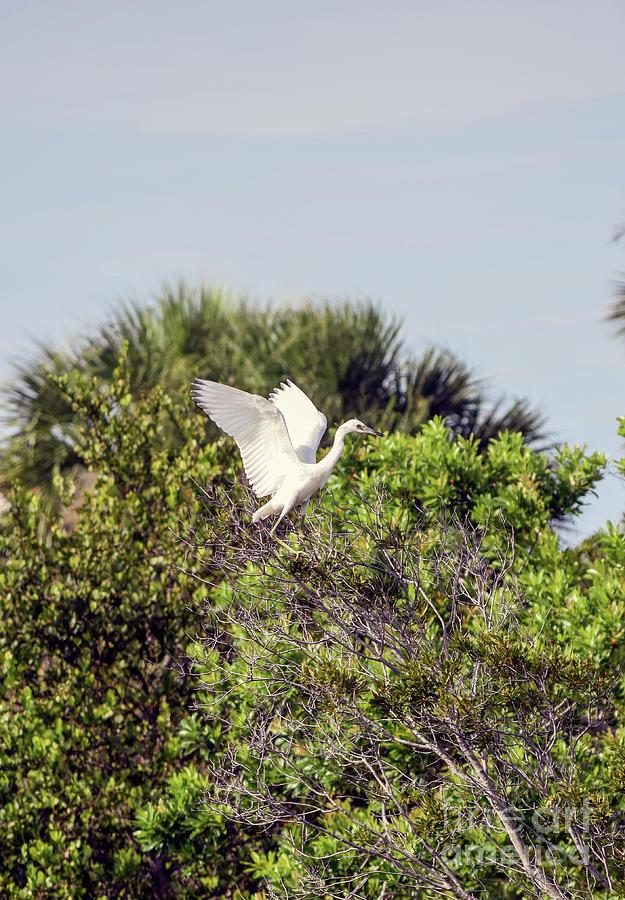 Little Blue Heron Photograph - Juvenile Little Blue by William Tasker