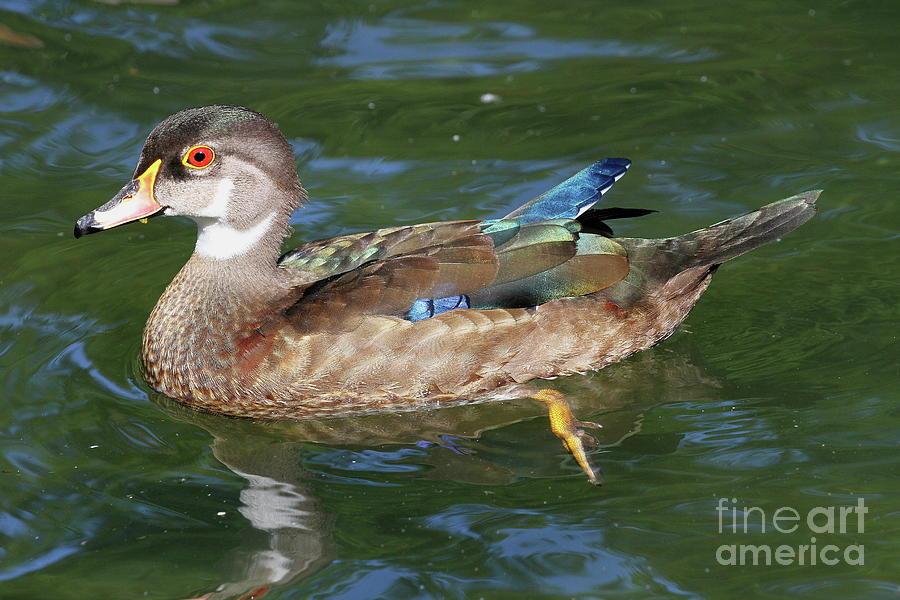 Juvenile Male Wood Duck Photograph By Ken Keener