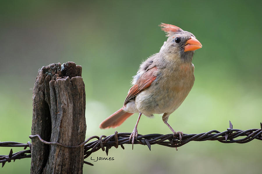 Birds Photograph - Juvenile Northern Cardinal by Larry Pacey
