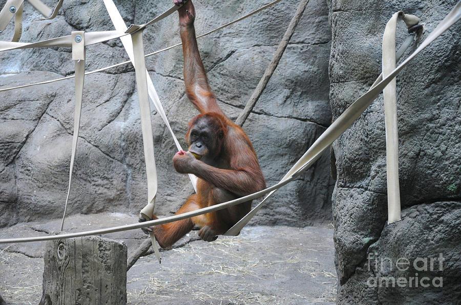 Orangutan Photograph - Juvenile Orangutan by Lana Raffensperger