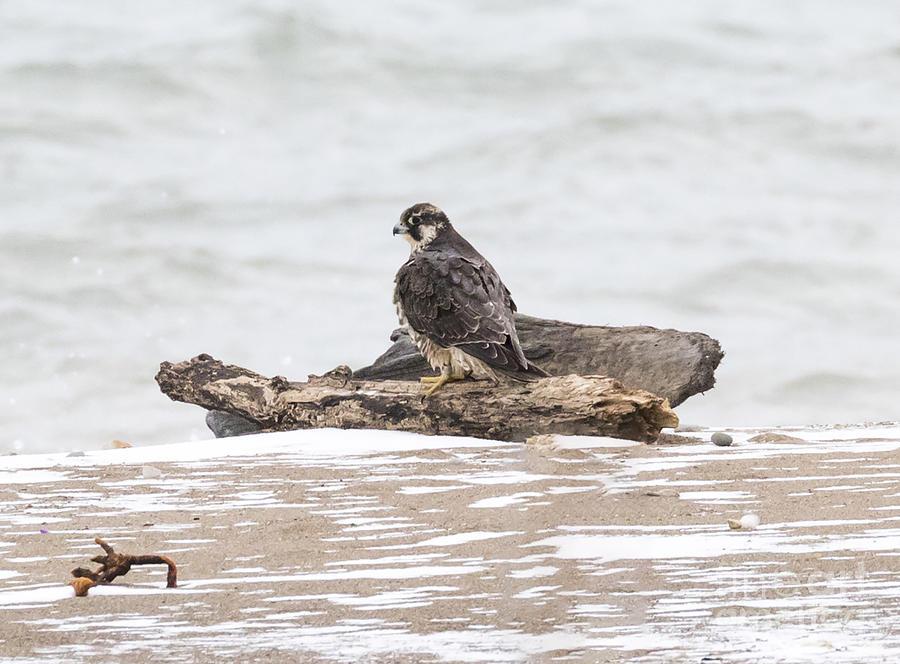 Canon Photograph - Juvenile Peregrine Falcon by Ricky L Jones