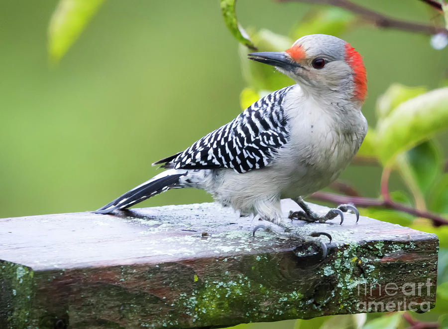 Canon Photograph - Juvenile Red-bellied Woodpecker In The Rain by Ricky L Jones