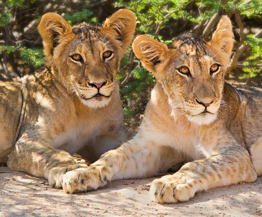 Lion Photograph - Kalahari Lion Cubs by Basie Van Zyl