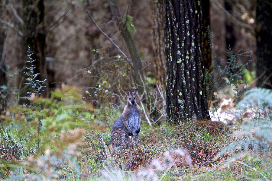 Kangaroo Photograph - Kangaroo In The Forest by Michelle Ngaire