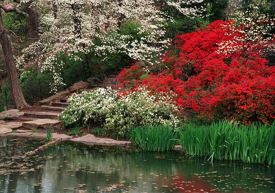 Flowering Dogwood Photograph   Kansas City Gardens By James Rasmusson
