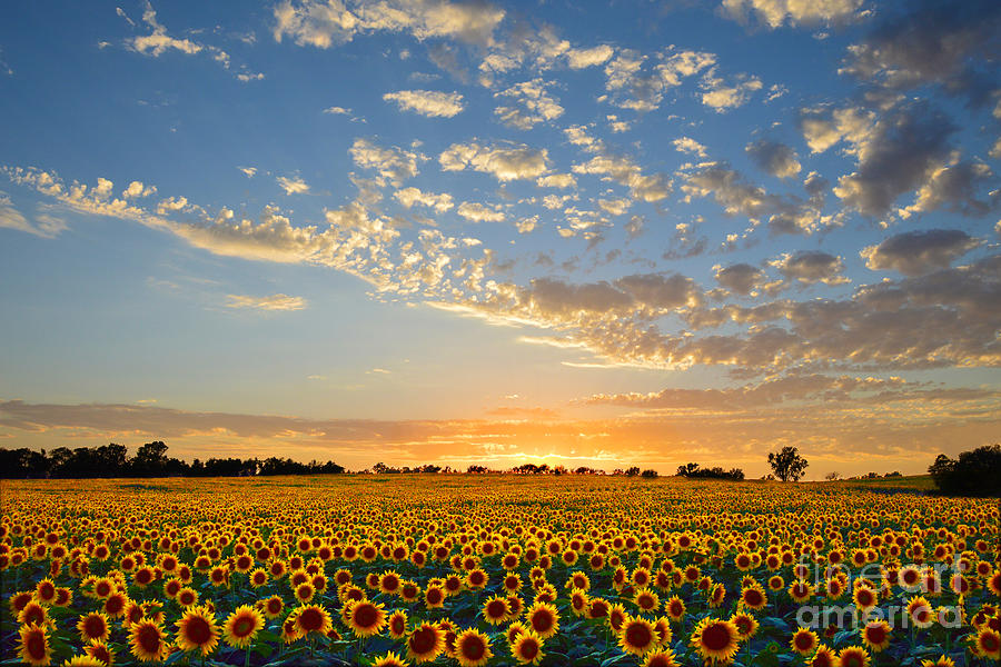 Sunflowers Photograph - Kansas Sunflowers At Sunset by Catherine Sherman