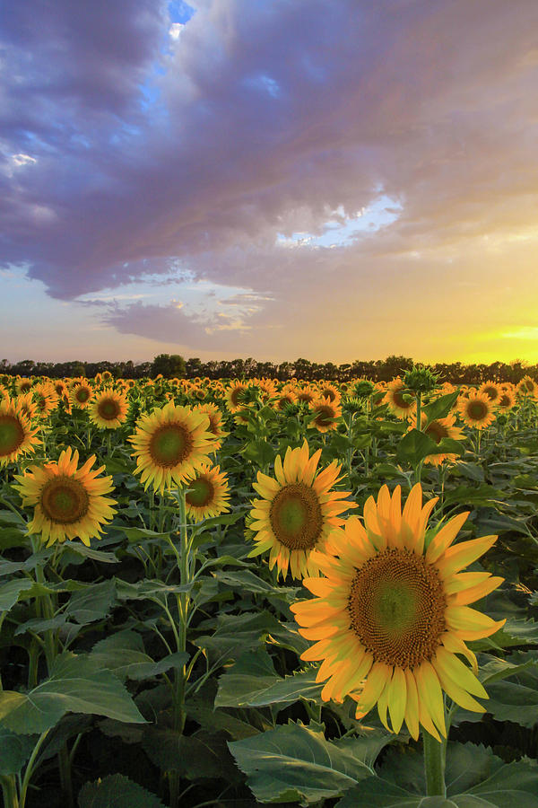 Kansas Sunflowers by Kyle Findley