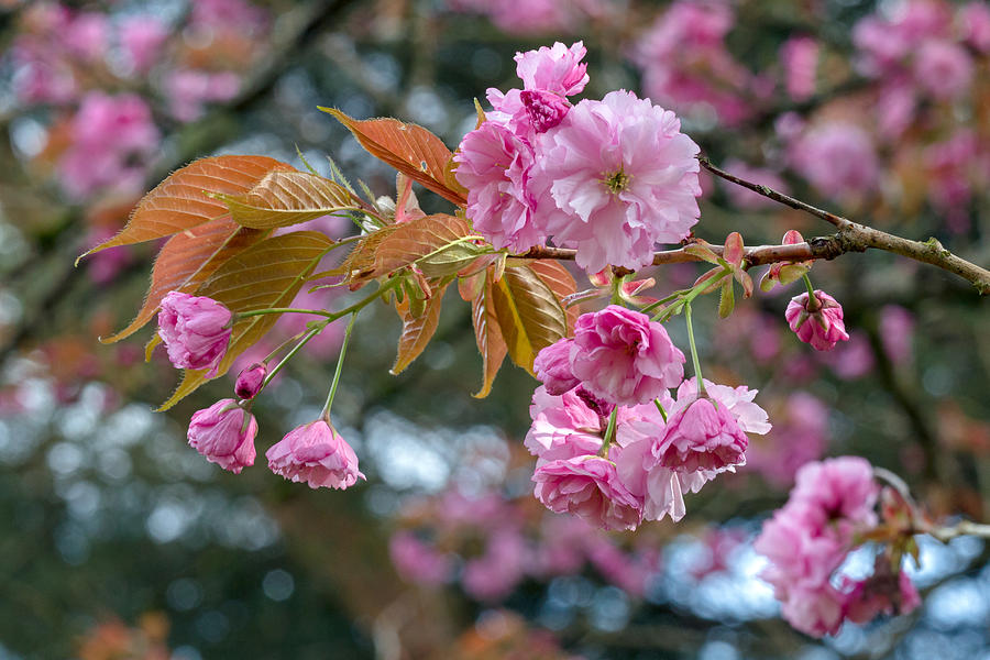 Bloom Photograph - Kanzan Cherry Blossoms by Michael Russell