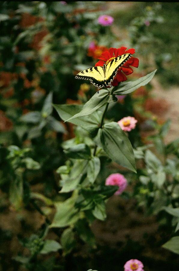 Butterfly Photograph - Kathys Butterfly by Lynard Stroud