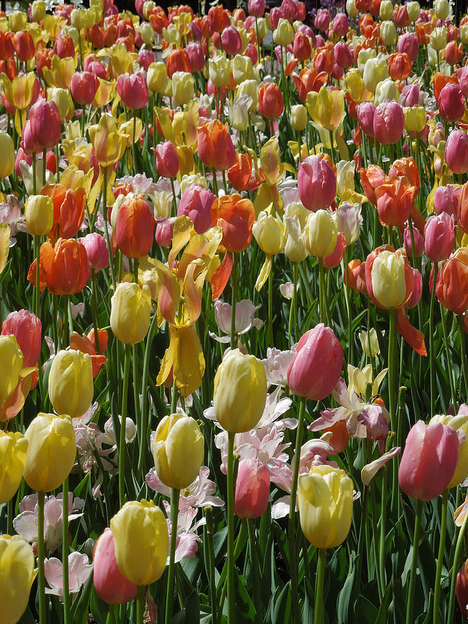 Kathy's Tulips IV by Peg Toliver