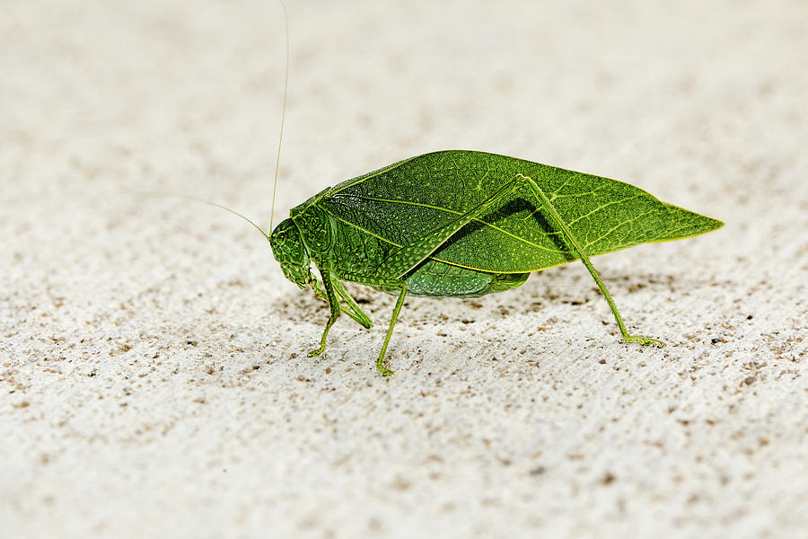 Katydid Side 01 by Josh Bryant