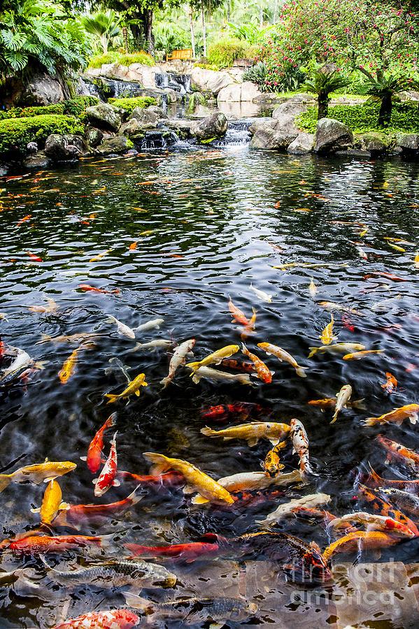 Lake Photograph - Kauai Koi Pond by Darcy Michaelchuk