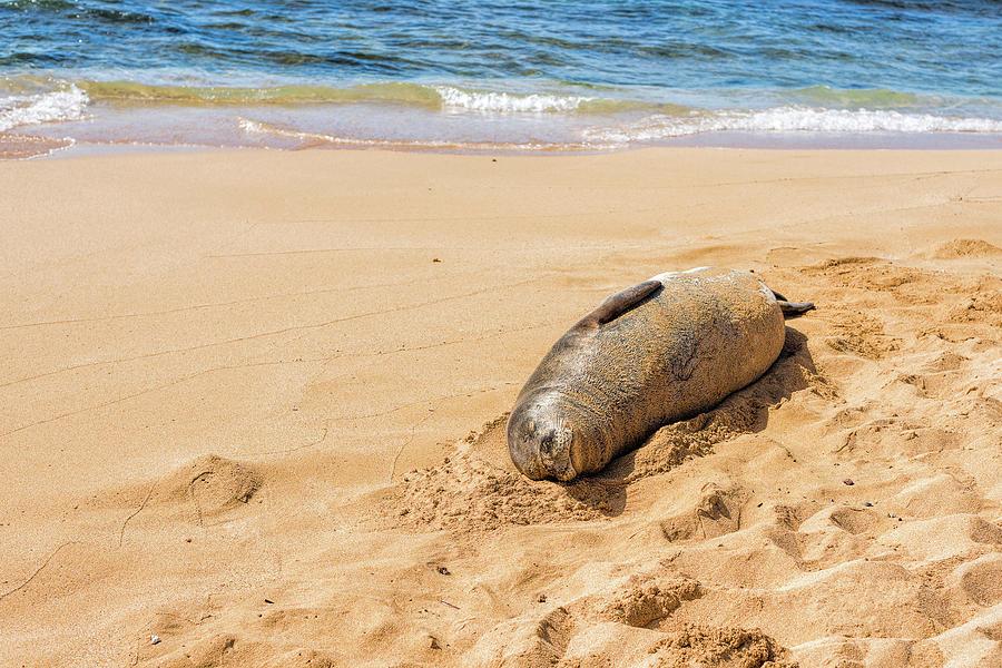 Kauai Monk Seal Sleeping On A Beach Photograph