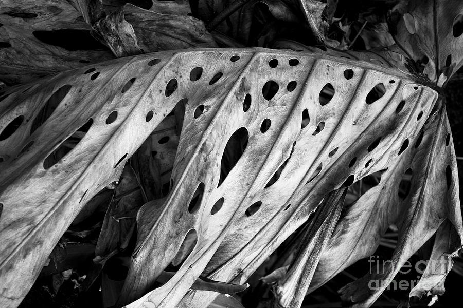Black And White Photograph - Kauai Old Palm Black And White by Jon Cretarolo