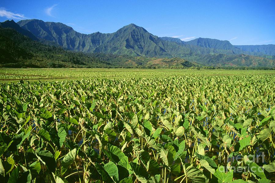 Afternoon Photograph - Kauai, Wet Taro Farm by Himani - Printscapes
