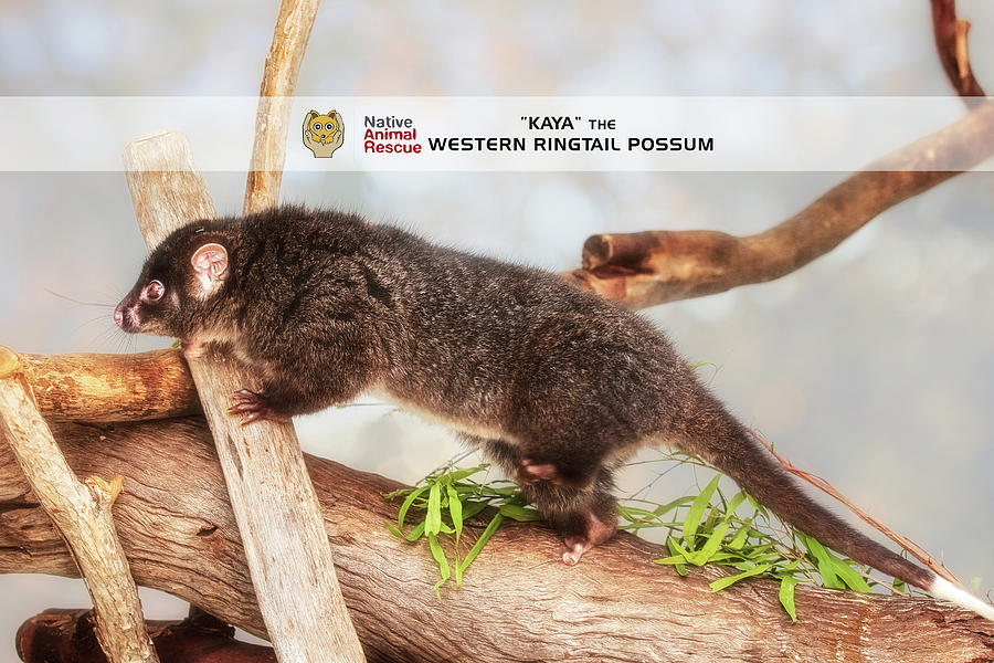 Kaya the Ringtail Possum, Native Animal Rescue by Dave Catley