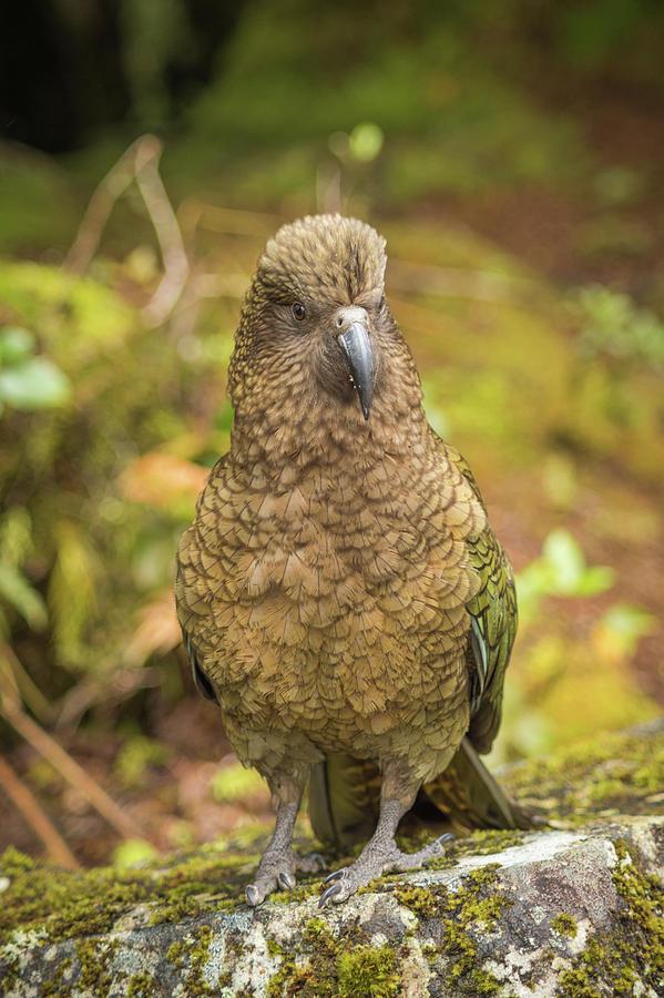 Kea Parrot Photograph