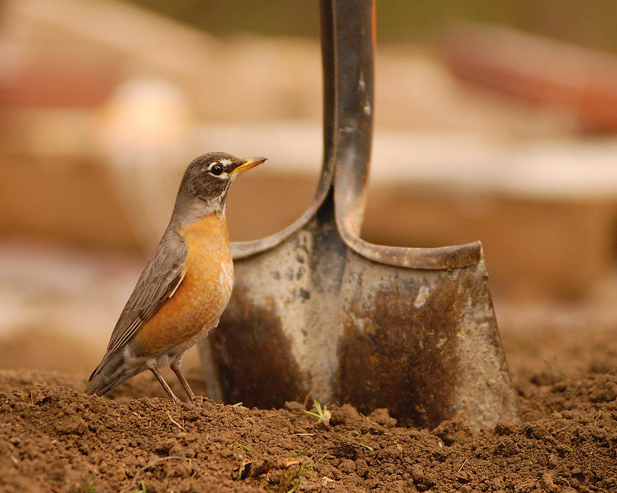 Robin Photograph - Keep Digging by Don Wolf