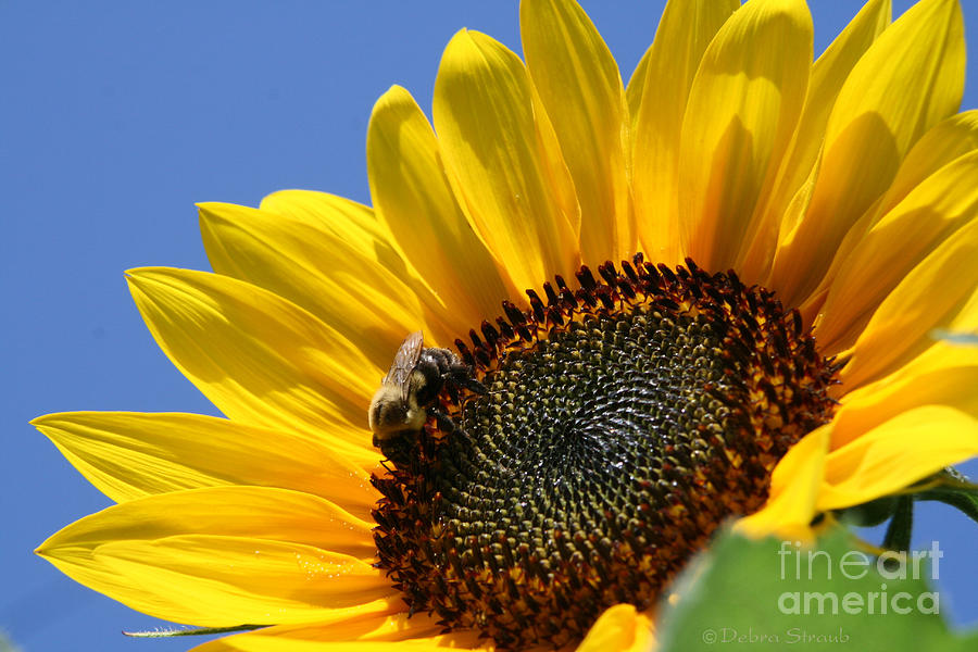 Sunflower Photograph - keep facing the Son by Debra Straub
