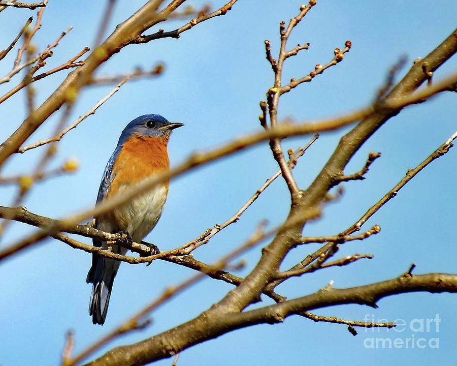 Eastern Bluebird Photograph - Keeping Watch - Eastern Bluebird by Cindy Treger