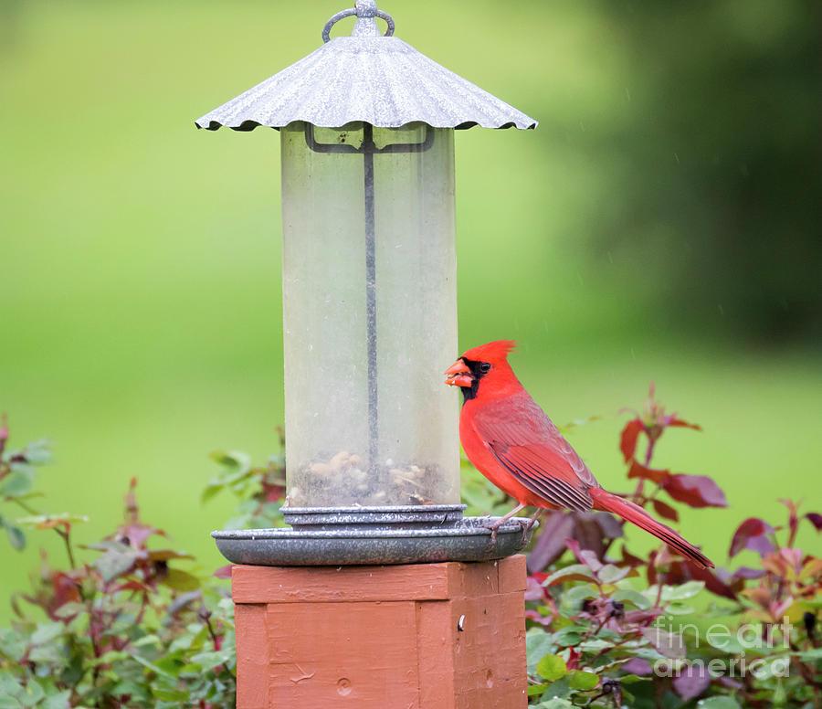 Canon Photograph - Kentucky Cardinal  by Ricky L Jones