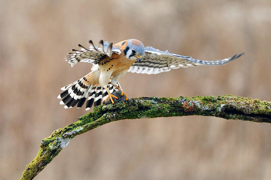 Kestrel Photograph - Kestrel Falcon Hunting On The Wing by Scott  Linstead