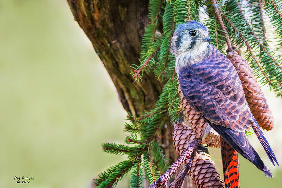 Kestrel Falcon Photograph - Kestrel On The Cones by Peg Runyan