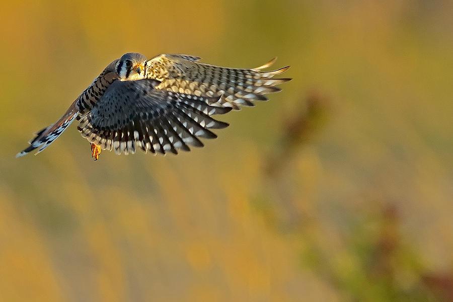 Kestrel Photograph - Kestrel Takes Flight by William Jobes