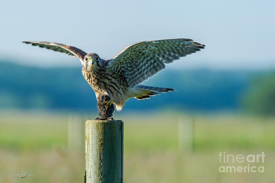 Bird Of Prey Photograph - Kestrels Capture by Torbjorn Swenelius