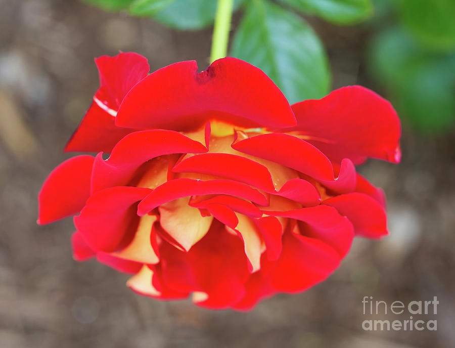 Rosa Photograph - Ketchup And Mustard Rose by Louise Heusinkveld