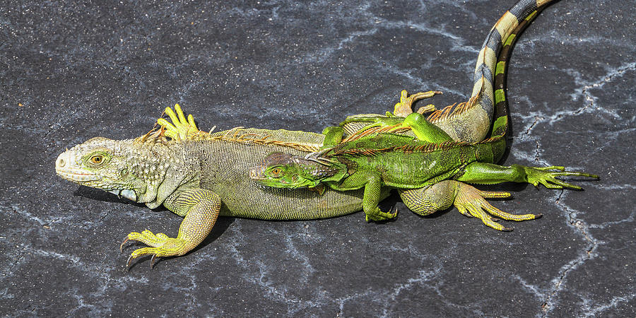 Key West Iguana Needs to Buy a Baby Carriage by Bob Slitzan