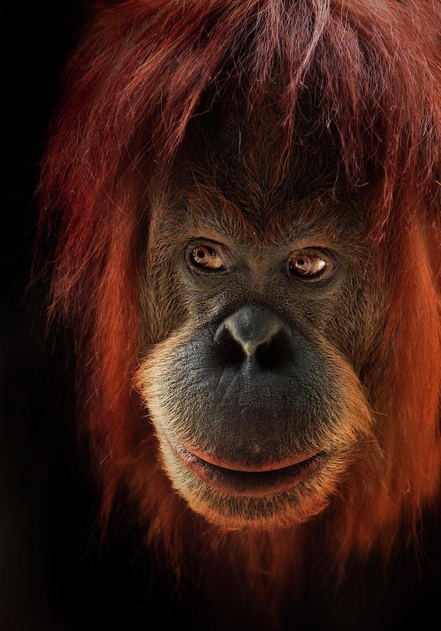 Orangutan Photograph - Kiani by Animus Photography