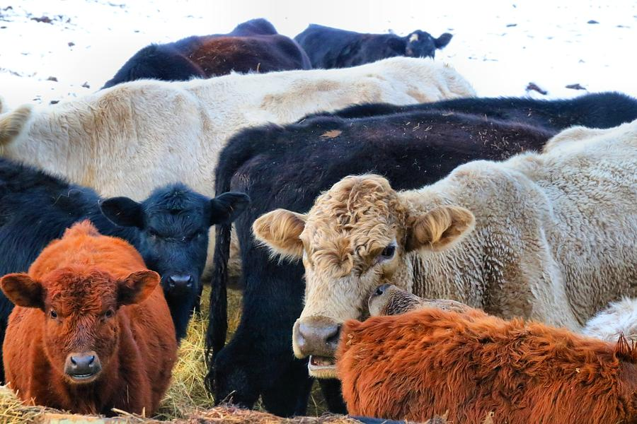 Cows Photograph - Kibler Valley Cows by Kathryn Meyer
