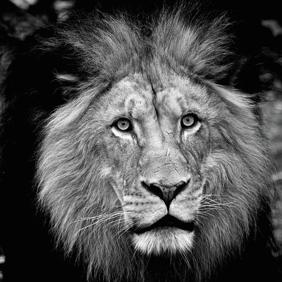 King of beasts black and white by Steve and Sharon Smith