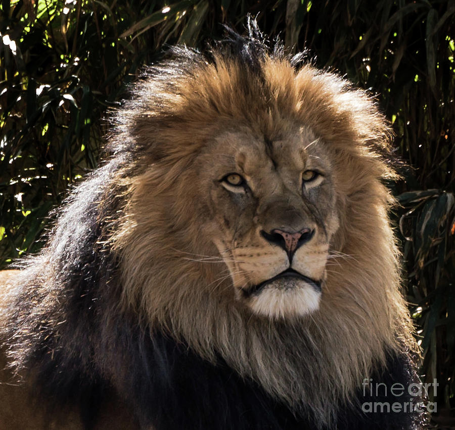 Lion Photograph - King Of Beasts by Julie Chambers