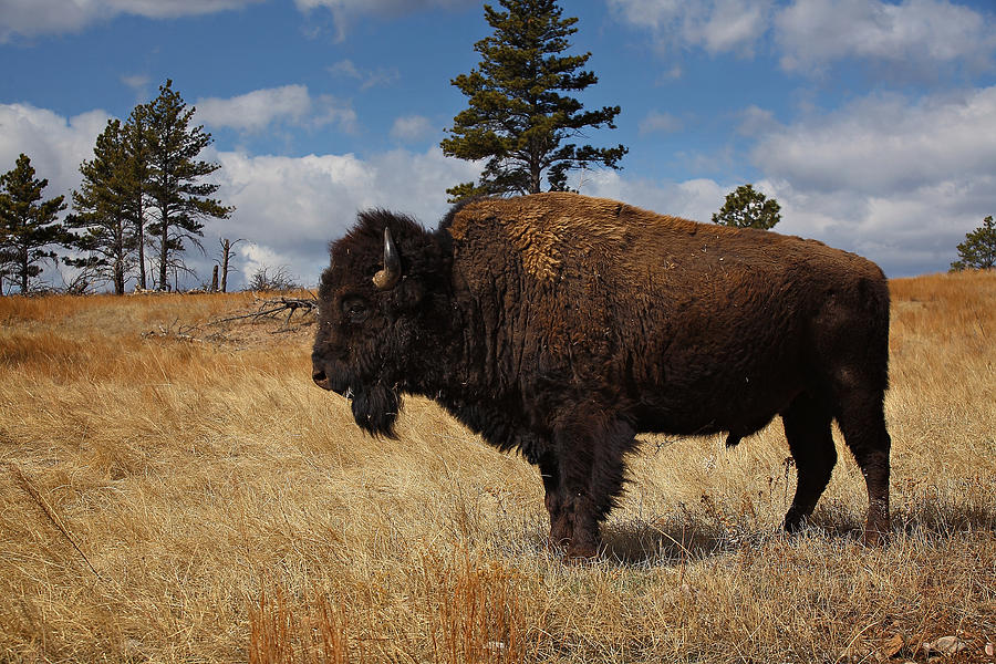 American Bison Photograph - King Of The Hill by Deborah Johnson