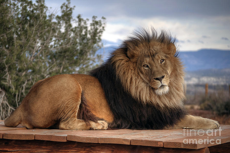 King Of The Jungle Photograph