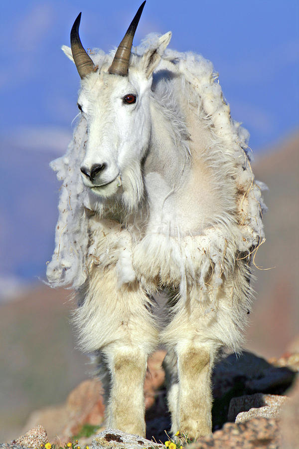 Goat Photograph - King Of The Mountain by Scott Mahon