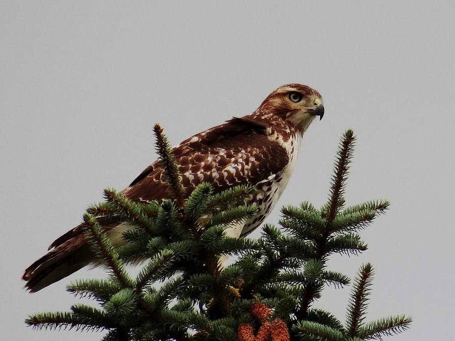 Hawks Photograph - King Of The Tree by Linda McAlpine