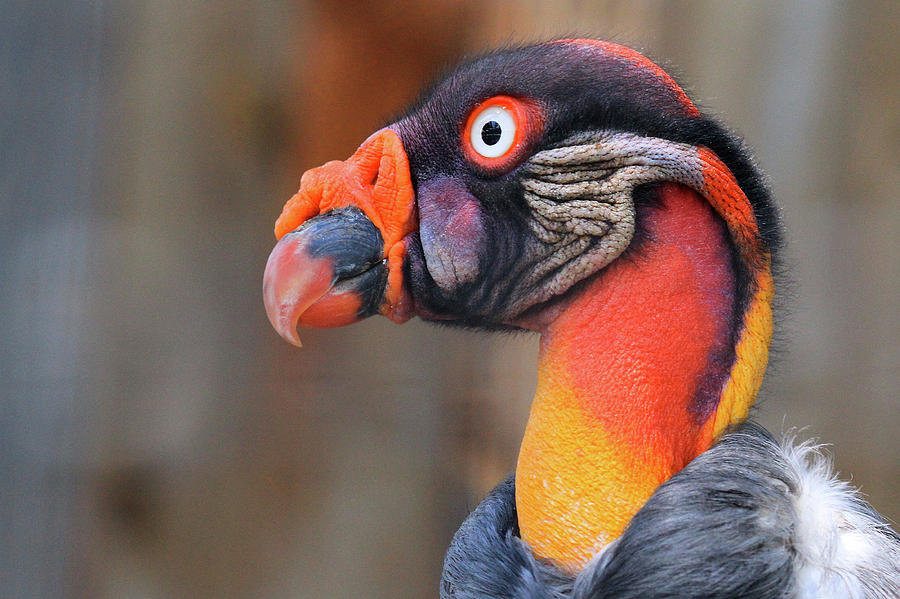 King Vulture by Paul Marto