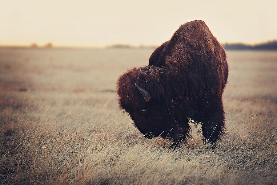 Bison Photograph - Kings breakfast by Deborah Johnson