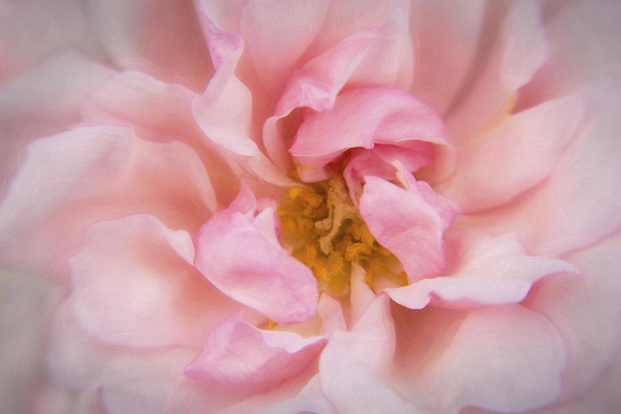 Rose Photograph - Kinsale Rose by Kathleen Clemons