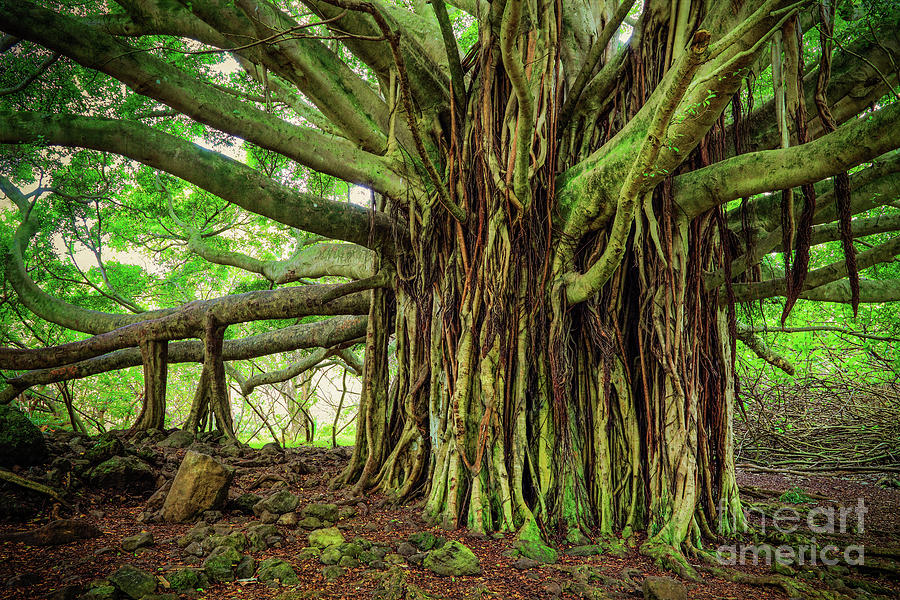 America Photograph - Kipahulu Banyan Tree by Inge Johnsson