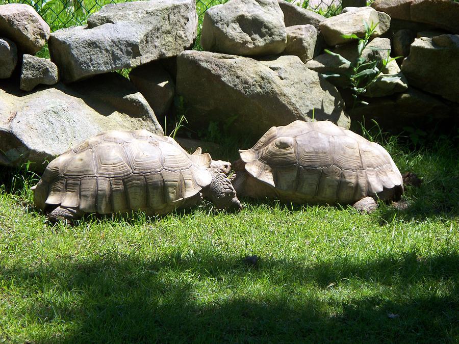 Turtles Photograph - Kissing Tortoises by Rosanne Bartlett