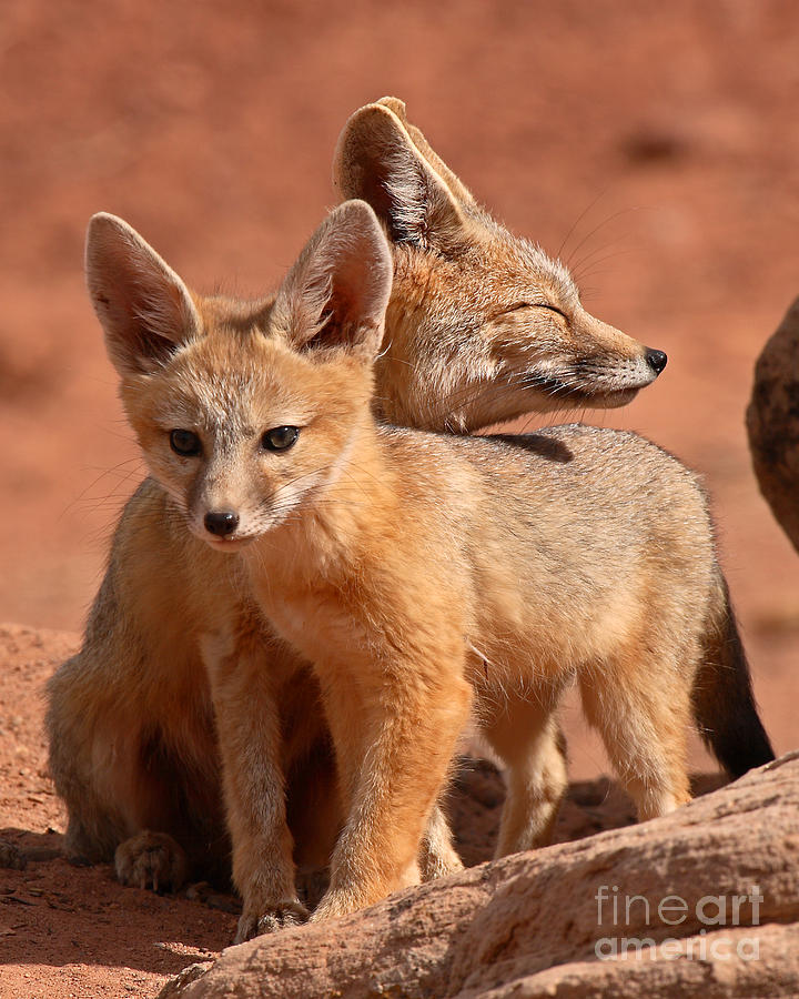 Fox Photograph - Kit Fox Mother Looking Over Pup by Max Allen