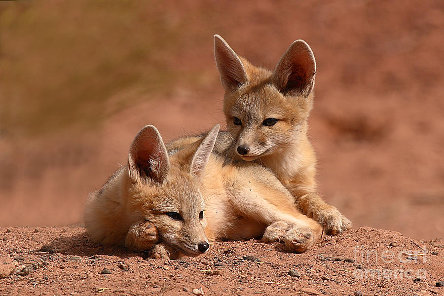 Fox Photograph - Kit Fox Pups On A Lazy Day by Max Allen