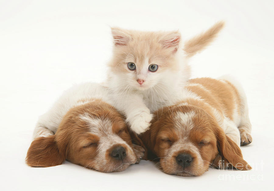 Animal Photograph - Kitten And Puppies by Jane Burton