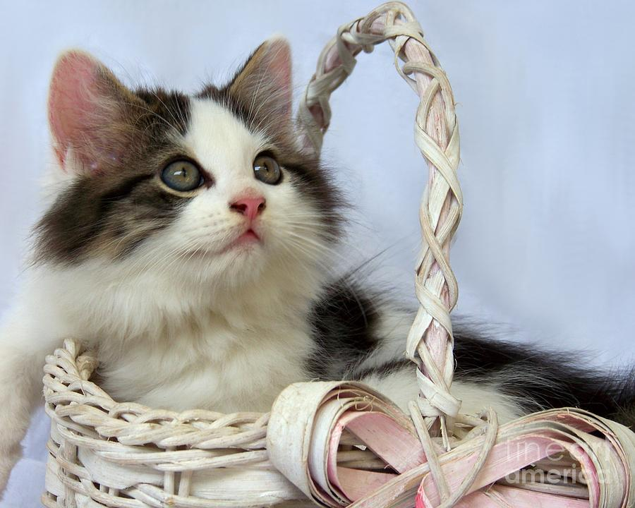 Kitten Photograph - Kitten In Basket by Jai Johnson
