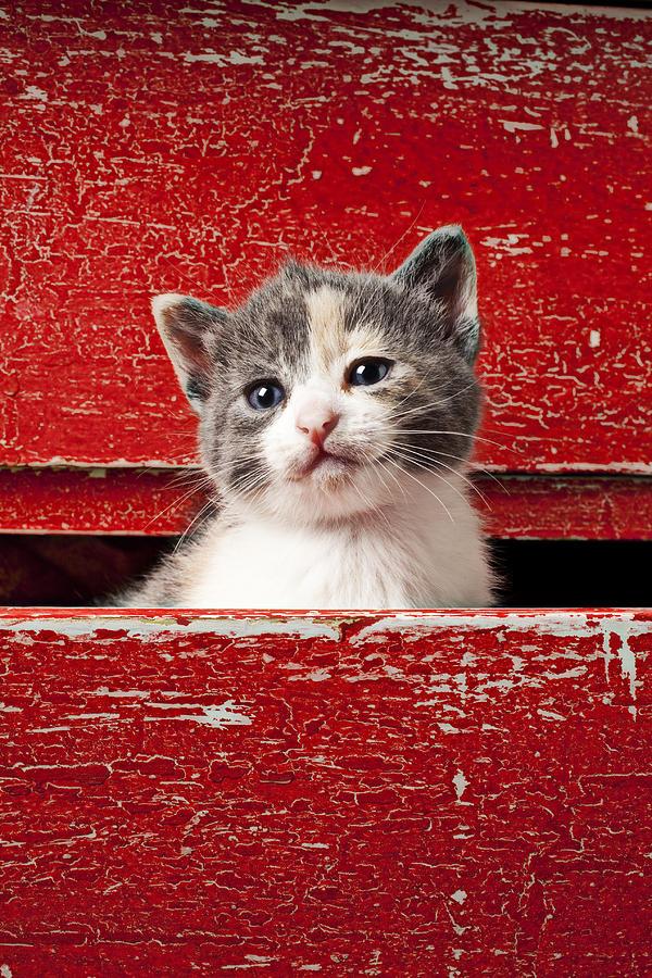 Kitten Photograph - Kitten In Red Drawer by Garry Gay