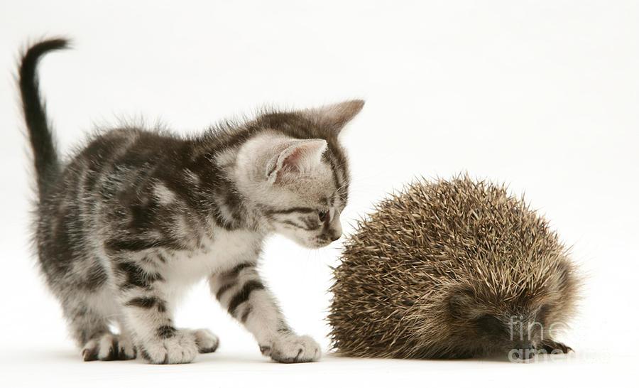 Картинка кот и ежик